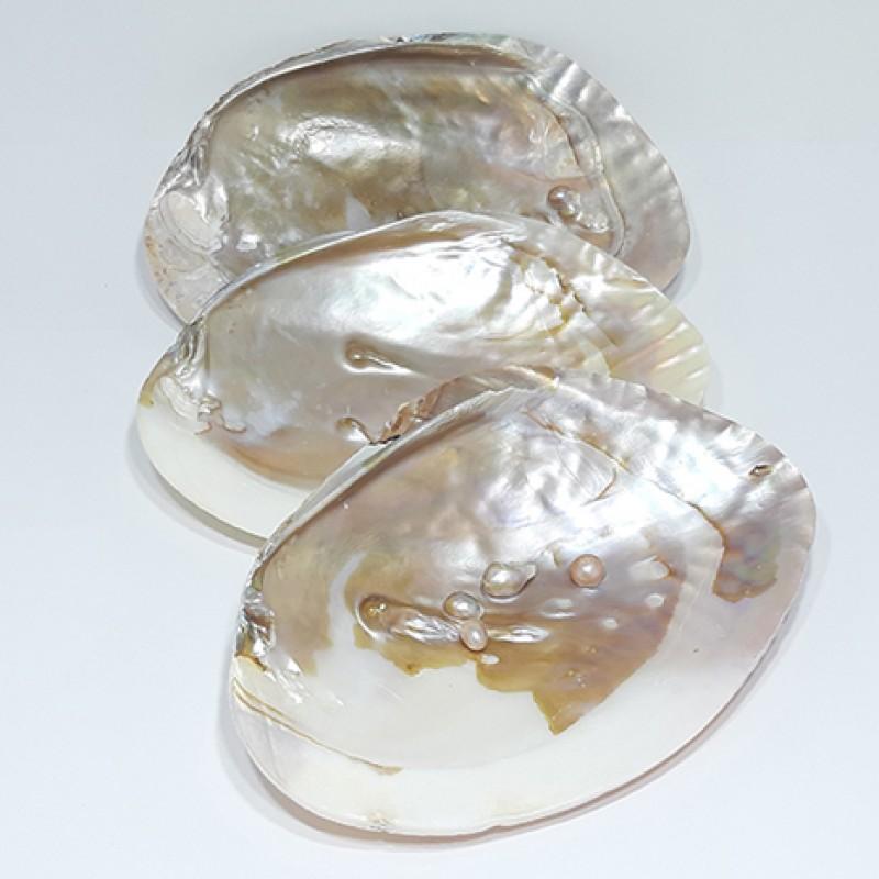 cochilie scoica alba cu perle naturale 16 cm purificare chakre cochilie scoica alba cu perle naturale 16 cm 2