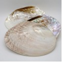 cochilie scoica alba cu perle naturale 16 cm purificare chakre cochilie scoica alba cu perle naturale 16 cm 4